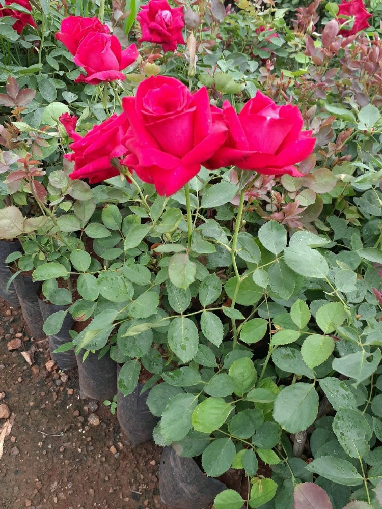 Red Rose Plant 1