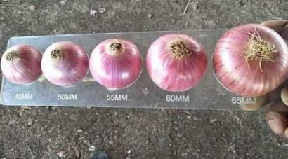 Red Onion export quality