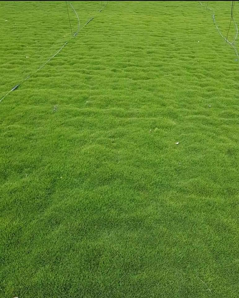 Maxican grass