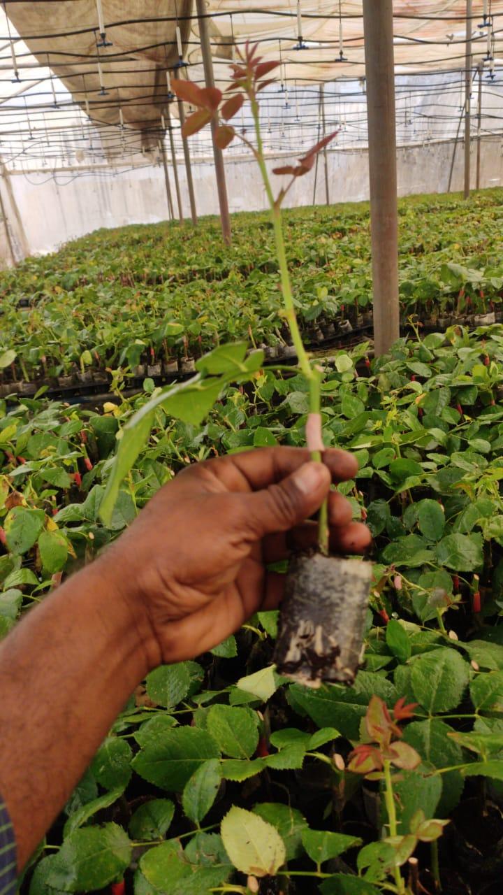 Rose Topgraft plant 2