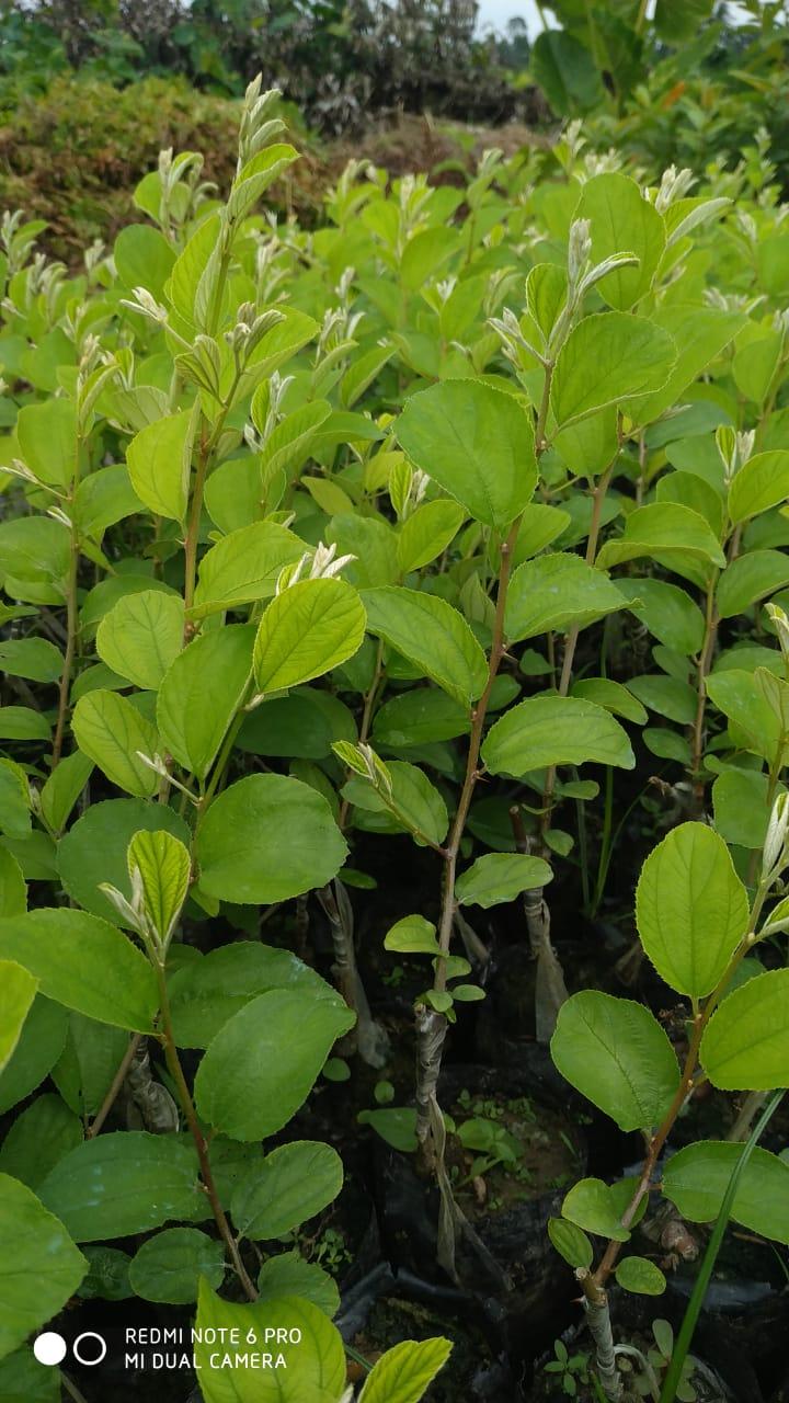 Sundari red Apple ber plant