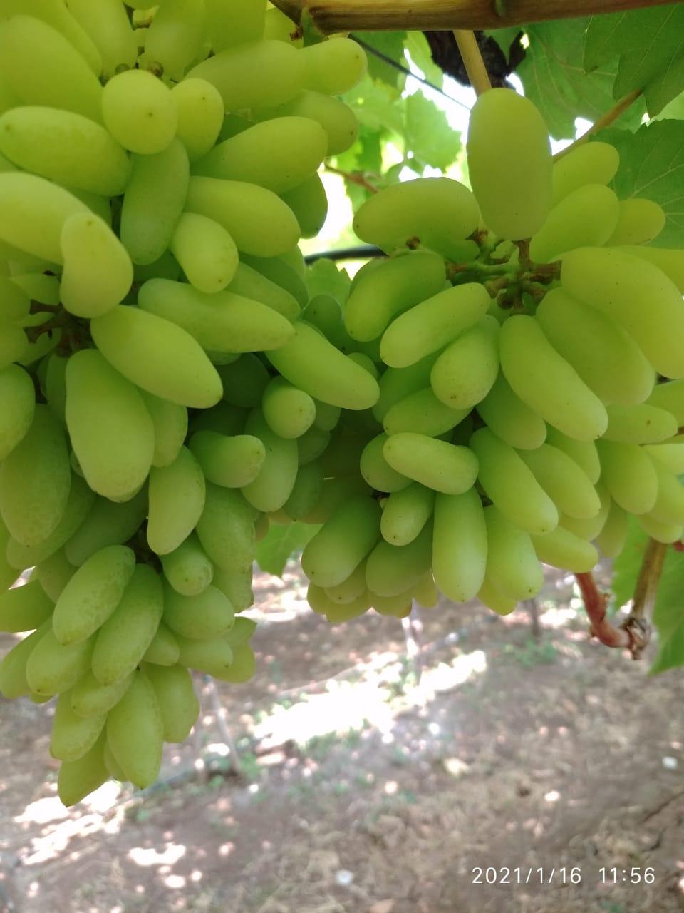 Fresh Manikchaman Grapes