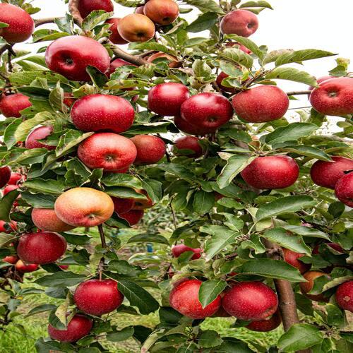 Fresh Natural Apple