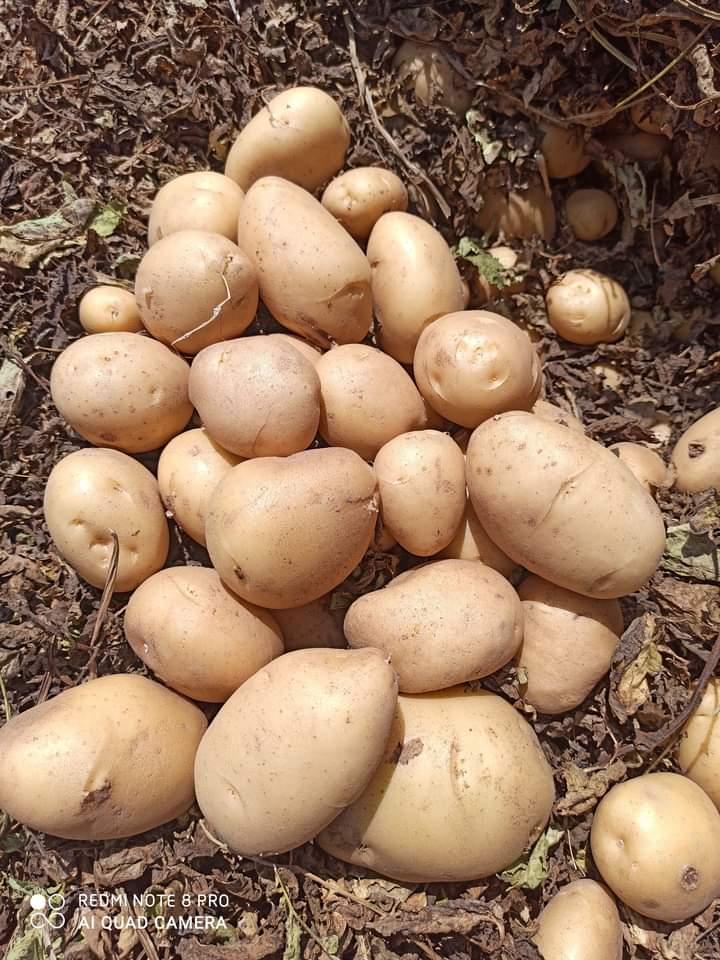 Joti potato