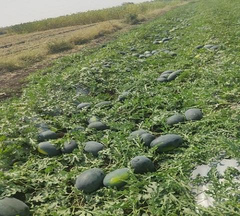 Natural Fresh Watermelon